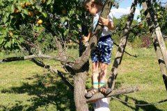 Sklízení ovoce