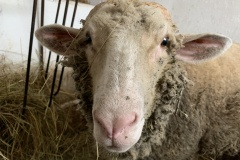 ovci_do_oci